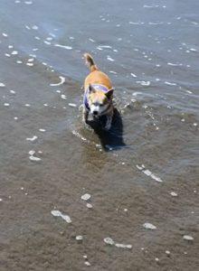 Roxy Enjoying the beach, Westmoor Veterinary Hospital